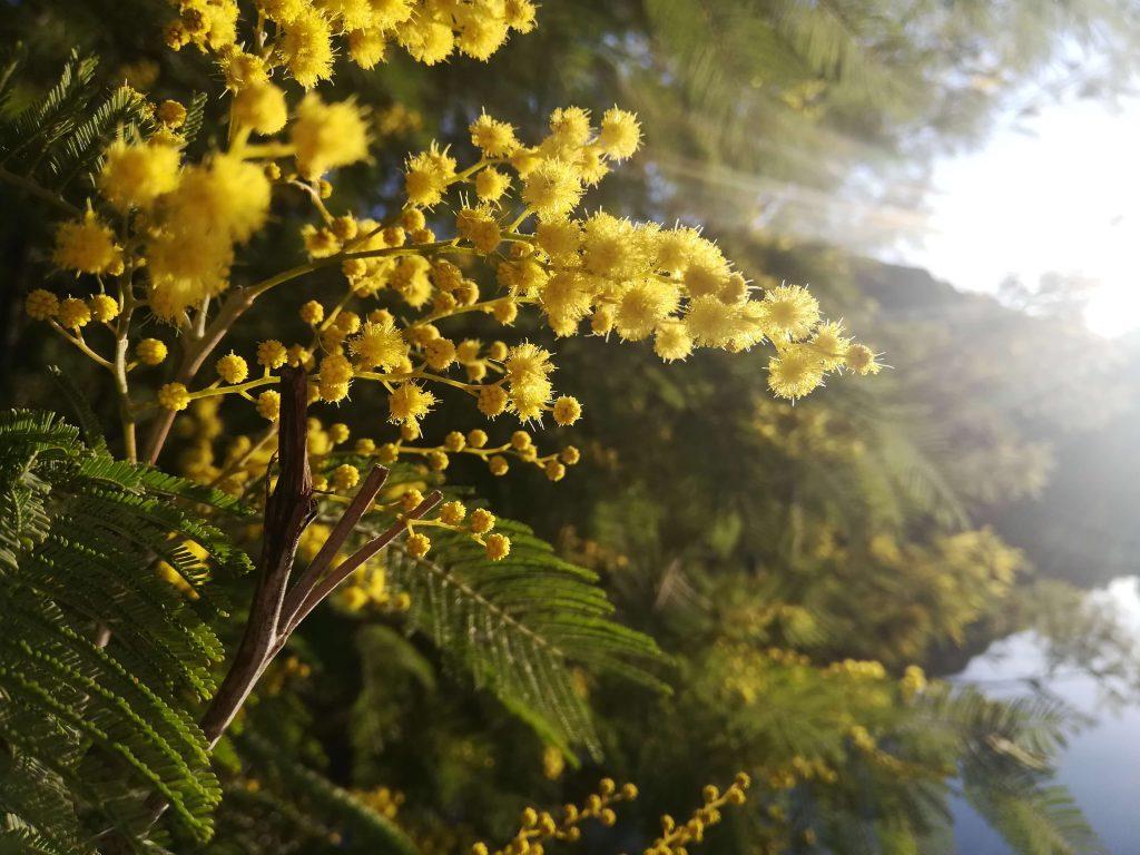Mimosas - Tanneron - Road-trip France - Vallée des mimosas