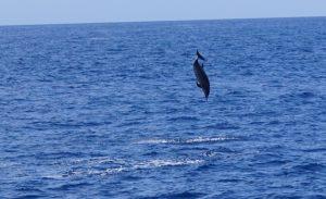 dauphin - voyage responsable - observation des cétacés